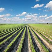 Agricoltura, carota campo in estate — Foto Stock