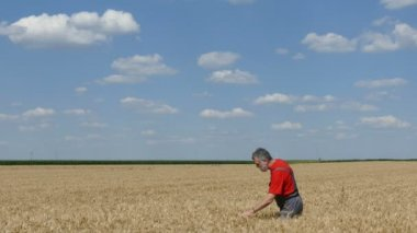 Agriculture, farmer or agronomist in wheat field — Stock Video