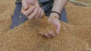 Agriculture, wheat harvest, farmer and crop — Stock Video