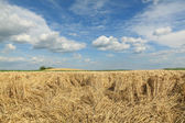 Agriculture, wheat harvest, damaged field — Stock Photo