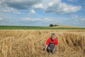 Agriculture, desperate farmer in damaged wheat field — Stock Photo