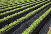 Agriculture, carrot plant in field — Stock Photo