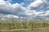 Agriculture, plum orchard — Stock Photo