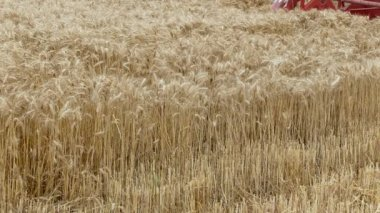 Agriculture,wheat harvest — Stock Video
