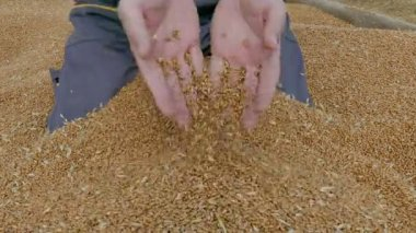 Agricultura, colheita do trigo, agricultor — Vídeo stock