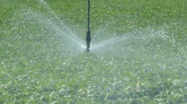 Agriculture, soybean field watering sprinkler — Stock Video