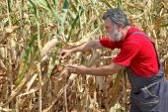 Agricultural scene, farmer or agronomist inspect damaged corn fi — Stock Photo