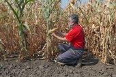 Agricultural scene, farmer or agronomist inspect corn field — Stock Photo