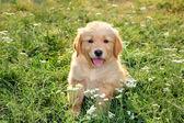 Young golden retriever — Stock Photo