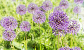 Flowering of decorative onions  (Allium) in a bright sunny day — Stock Photo