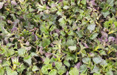 Nettle leaves on the table for drying — Stock Photo