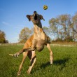 Silly great Dane trying to catch yellow ball in mid air — Stock Photo #57097125