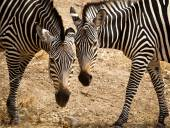 Two zebras head to head horizontal — Stock Photo