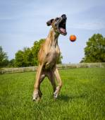Silly great Dane reaching for orange ball in mid air, facing right — Stock Photo
