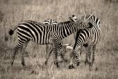 Two zebra friends in black and white — Stock Photo