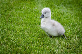 Lone Cygnet — Stock Photo
