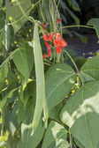 Runner beans growing on vine close up — Stock Photo