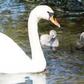 Baby cygnet — Stock Photo
