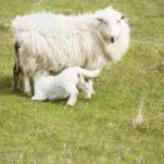 Sheep — Stock Photo #76223679