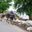 Buffalo on road in Irrawaddy River — Stock Photo #52929245