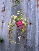 Foliage plant in pots on rustic background — Foto de Stock