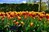 Tulipa mickey mouse flowers in dutch spring garden Keukenhof — Stock Photo