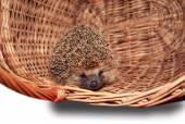 Hedgehog basket — Stock Photo