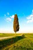 Tuscany, lonely cypress tree and rural road. Siena, Orcia Valley — Stock Photo