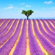 Lavender and lonely tree uphill. Provence, France — Stock Photo #77920746