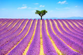 Lavender and lonely tree uphill. Provence, France — Stock Photo