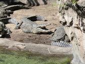 Animals in wild. Crocodile basking in the sun — Stock Photo