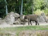 Slon africký (Loxodonta africana) — Stock fotografie