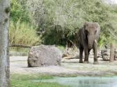 African elephant (Loxodonta africana) — Stock Photo