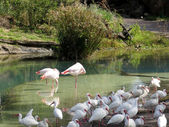 Group of Flamingos — Stock Photo