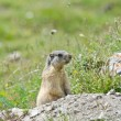 Attentive marmot — Stock Photo #54467707