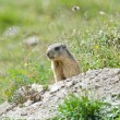 Attentive marmot — Stock Photo #54467737