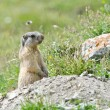 Attentive marmot — Stock Photo #54778209