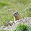 Attentive marmot — Stock Photo #54778227