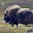 Musk ox — Stock Photo #54743901