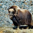 Musk ox - Ovibos Moschatus - in natural habitat — Stock Photo #63016373