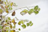 Frosty leaves in winter — Stock Photo