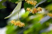 Linden tree flowers on branch in summer — Stock Photo