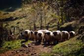 Flock of sheep on mountain pasture — Stock Photo