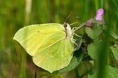 Brimstone butterfly in natural habitat (gonepteryx rhamni) — Stock Photo
