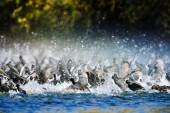 Coots on the lake (fulica atra) — Stock Photo