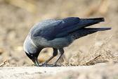 Jackdaw (Corvus monedula) — Stock Photo