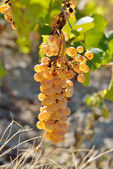 White grapes in the vineyard in autumn — Stock Photo