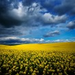 Blooming rapeseed field in spring — Stock Photo #71940173
