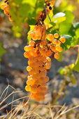 White ripen grapes in the vineyard in autumn — Stock Photo