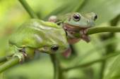 Australian Green Tree Frogs — Stock Photo